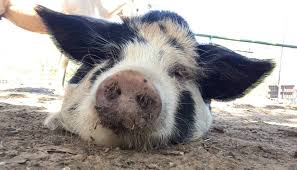 Kunekune Pig Facts, Size, Weight, Lifespan, Meat