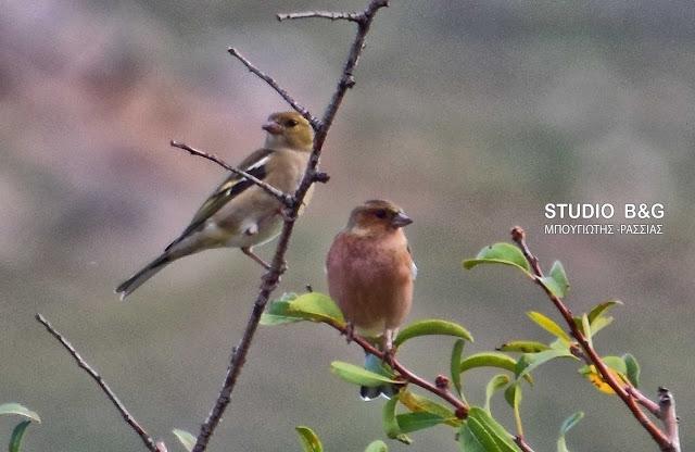 Σπίνοι στο Ναύπλιο: Τα πουλιά που προειδοποιούν για τον ερχομό του κρύου