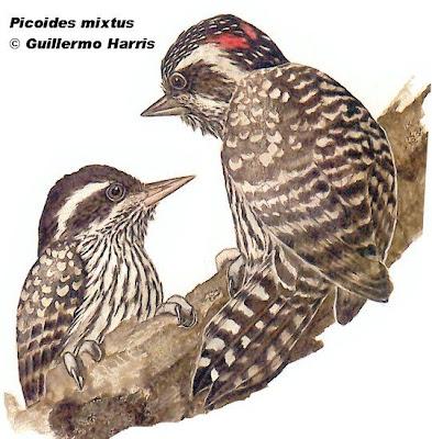 Carpintero bataraz chico Picoides mixtus