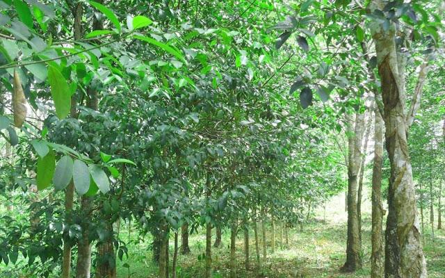 Ciri Ciri Pohon Gaharu Asli