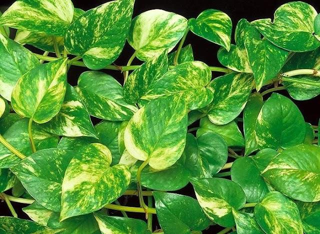 Jiboia é uma planta que vai bem em áreas internas e externas