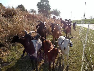 Green goat kim hunter chicago wisconsin