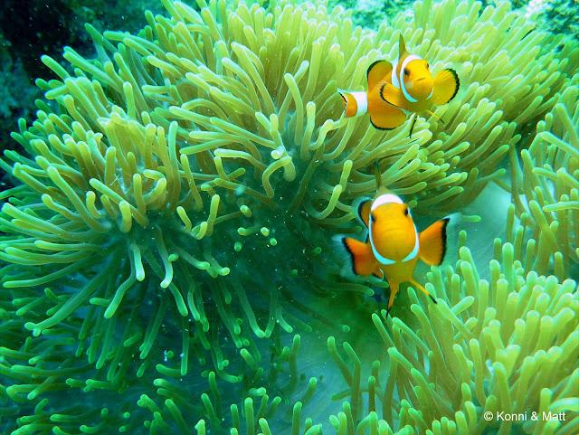 Two-bar clownfish, anemonefish, south china sea, scuba diving, tropical waters, tioman island,