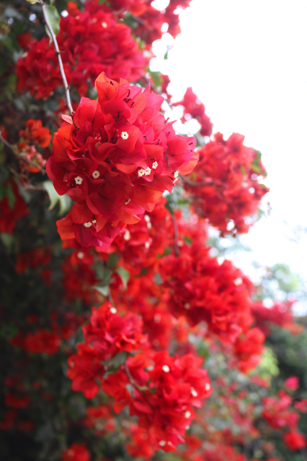 Bougainvillea flowers in Lima, Peru - travel blog
