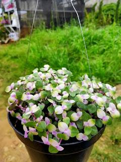 """""""Si Kribo"""", tanaman hias pertamanya Bunda Haura."""