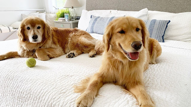 Golden retriever go bed