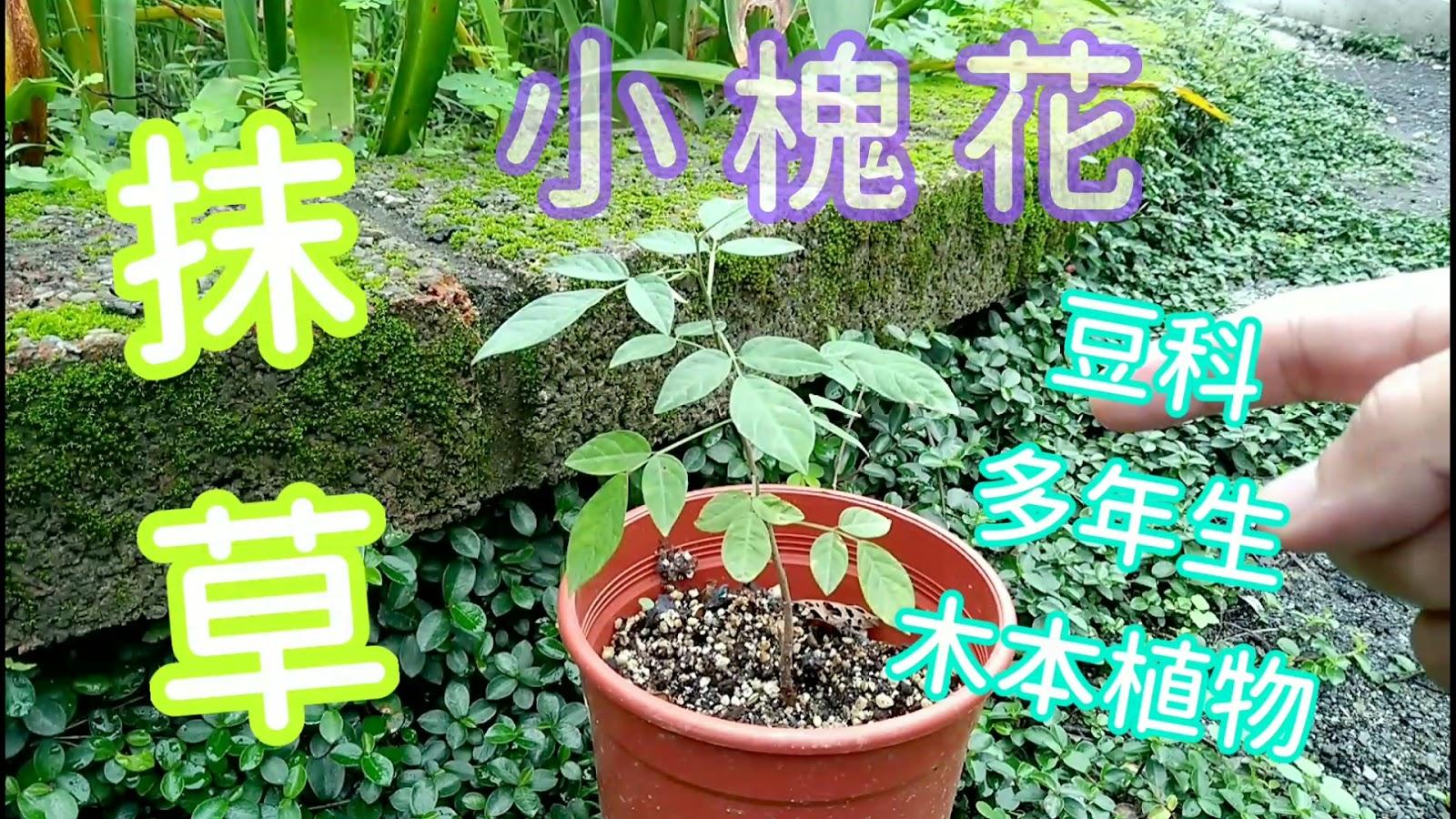 和香草說說話 talk2herb ( an EcoGarden for the Future ): 臺灣阿嬤的魔法香草【抹草】Ohwia caudata