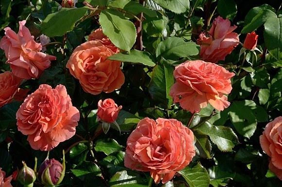 Tatton сорт розы купить в Минске саженцы фото