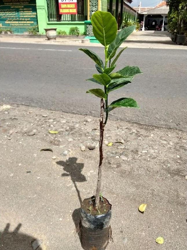 bibit buah nangka mini super duper genjah Nusa Tenggara Timur