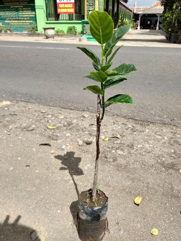 bibit buah nangka mini super duper genjah Kalimantan Selatan