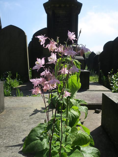 Aquilegia growing between graves at Lister Lane Cemetery, Halifax, Calderdale, UK.