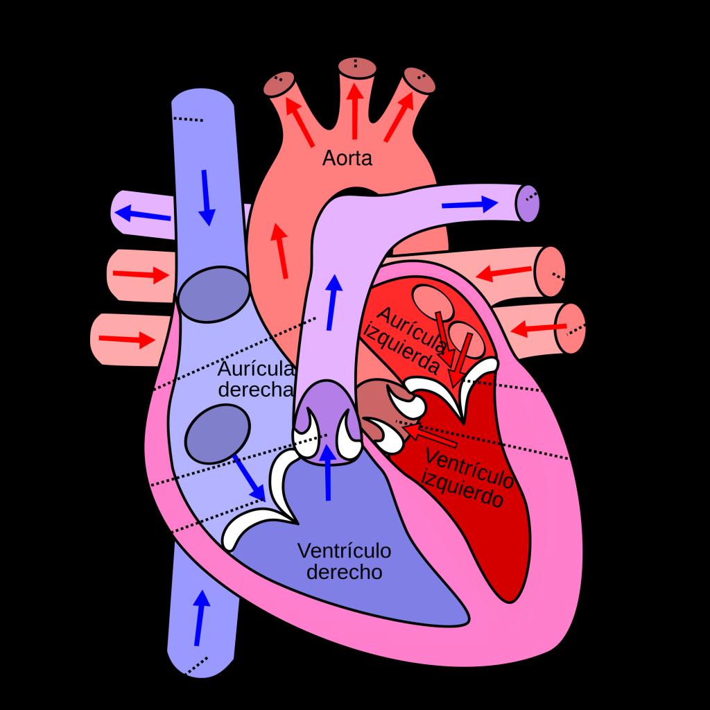 LUGAR VERDE: Aparato circulatorio