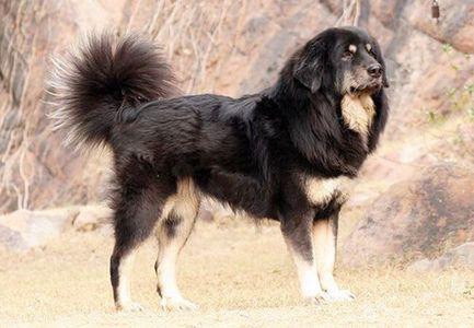 Gaddi kutta -  Price, Appearance, Status, Grooming, Excercise, etc |  IndianDogsBreed.com