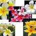 Manfaat dan Rahasia Bunga Kamboja Dari Bunga Mistis; Hingga Menjadi Komoditas Ekspor