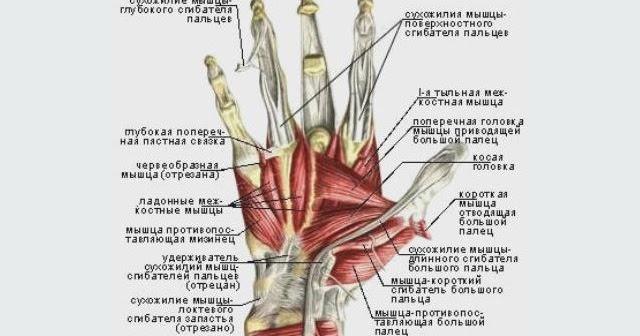 Сухожилия разгибателей пальцев кисти анатомия