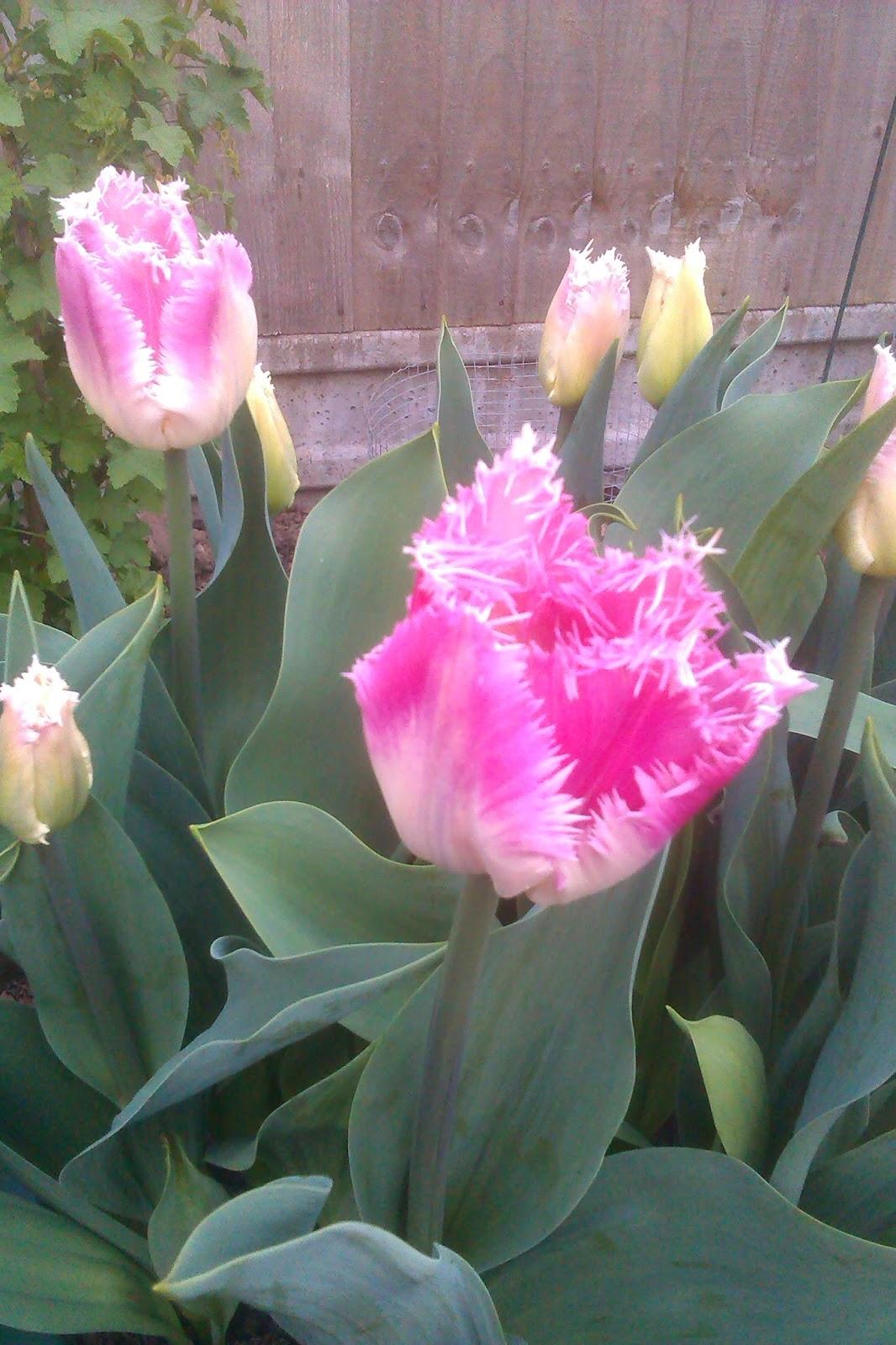 Gardening With Magic Fleeting Wonder Of Tulips