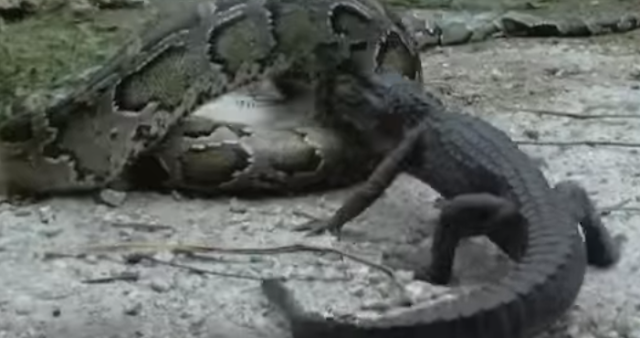Python Eats Alligator Florida Viral Video Has Clocked Over 77