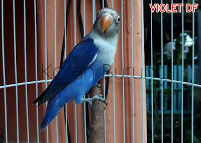 Burung Lovebird memang mempunyai bermacam-macam warna Perbedaan Warna Lovebird Biru Cobalt, Biru Mangsi, Violet SF, Violet DF, Violet DDF