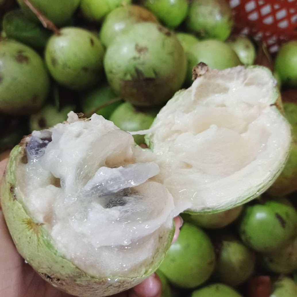Bibit Tanaman Buah Genitu Kenitu Sawo Durian Depok