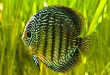 Jenis Ikan Hias Air Tawar Yang Mudah Dipelihara Discus