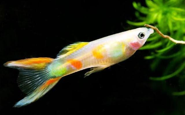 jenis ikan guppy neon