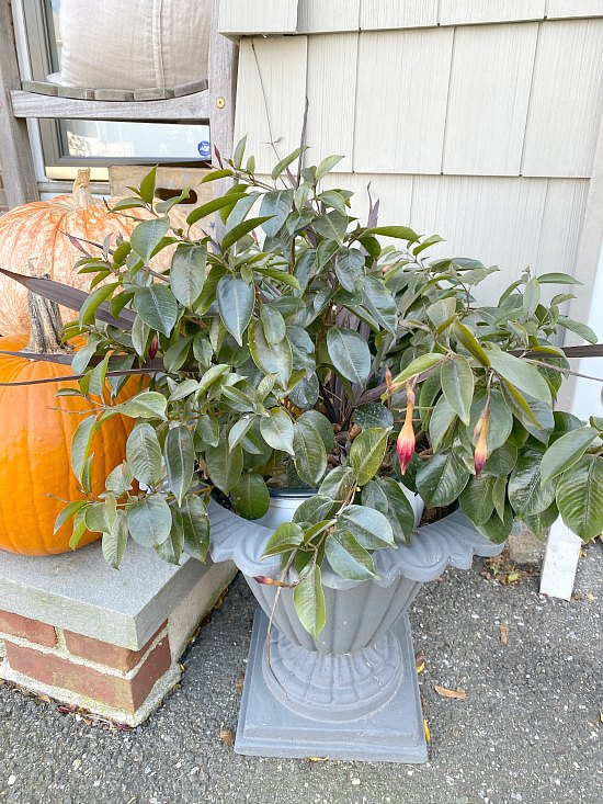 dying plant with pumpkins on the stoop