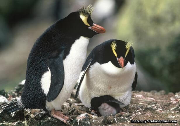 Penguin Erect-Crested (Eudyptes sclateri)