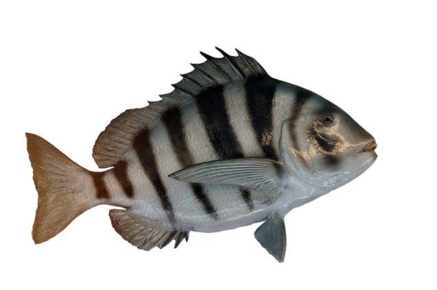 इंसानों की तरह दाँत वाली मछली शीपशेड फिश (Sheepshead Fish) के बारे में जानकारी और रोचक तथ्य - Facts About Sheepshead Fish