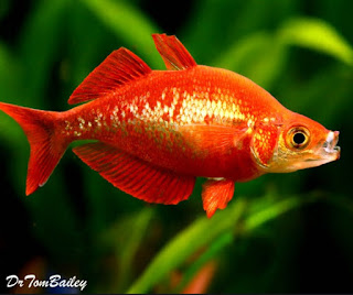 Melek Perikanan Ikan Pelangi Merah Klasifikasi Morfologi Habitat Dll