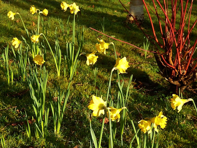 Early daffodils in Cornwall
