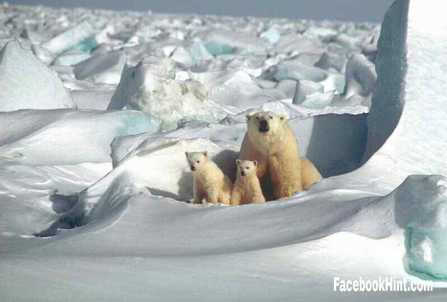 Polar bears are nearly undetectable by infrared cameras? Science Fact