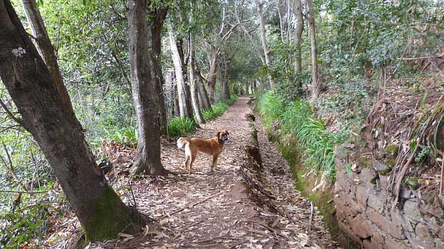 Walking the dog on a levada in Madeira