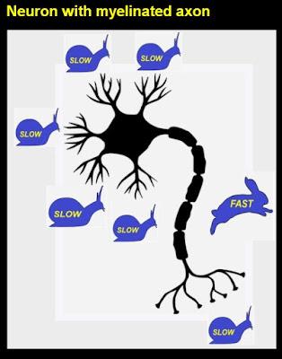 speed of brain signals