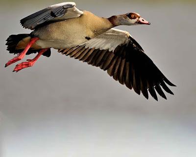 البط البرى الطائر، اجمل صور طيور