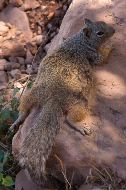 Rock Squirrel, Grand Canyon
