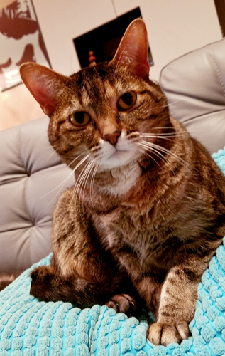 image of Sophie the Torbie cat sitting on a pillow on the sofa