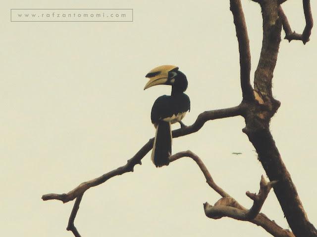 Gambar Hornbill