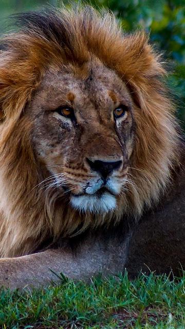 Lion Wallpaper, Laying, Grass, Predator HD