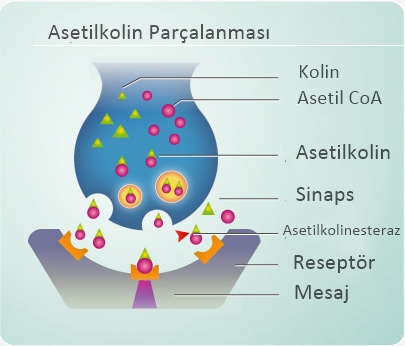 [Image: DGI-Ill-Acetylcholine.jpg]