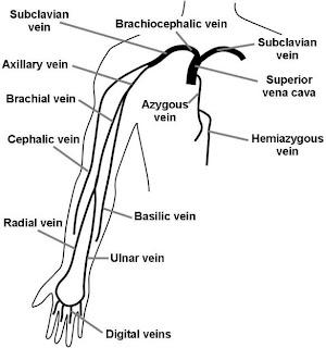 arm veins diagram
