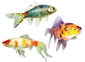 karakteristik-ikan-mas-koki.jpg