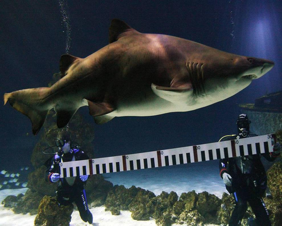 اسماك القرش تحت الماء Scuba-divers-measuri