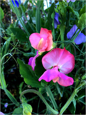 September 28, 2018 Finding joy in sweet peas, a flower we have missed in our garden.