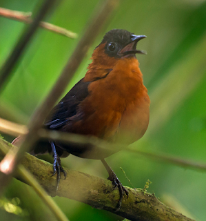Unik dan merdu suara burung chestnut-breasted wren