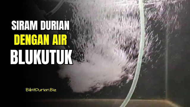 Pertumbuhan Durian Semakin Cepat dengan Penyiraman Air Blukutuk