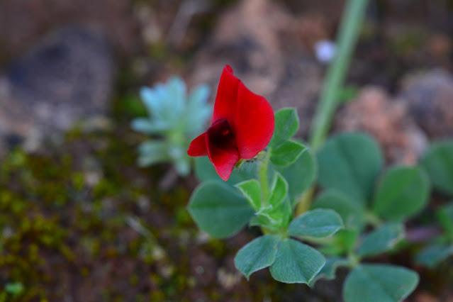 Lotus tetragonolobus