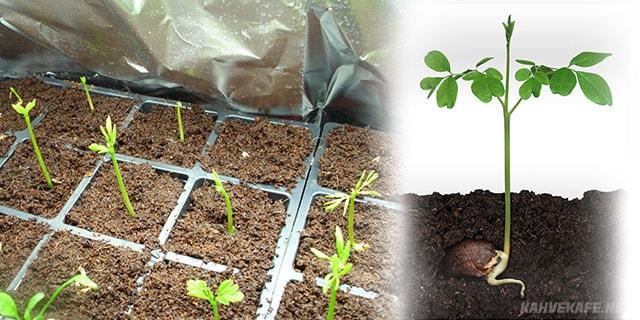 moringa ağacı görselleri - www.kahvekafe.net