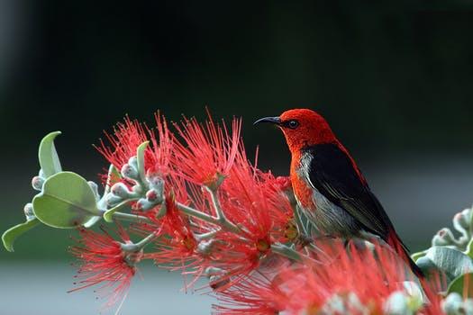 Myzomela Dari NTT, Burung Endemik Baru Ini Dinamai Dengan Nama Ibu Negara