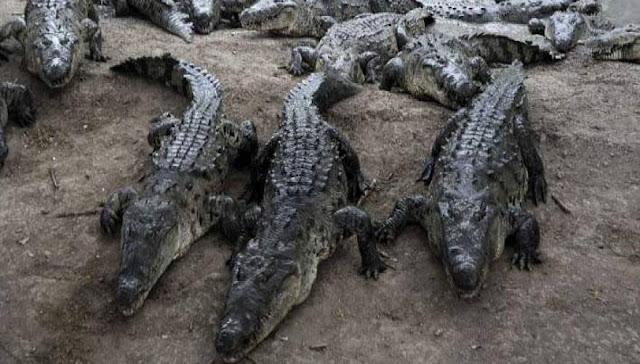 Νότια Αφρική : Κροκόδειλοι καταβρόχθισαν ξεναγό!