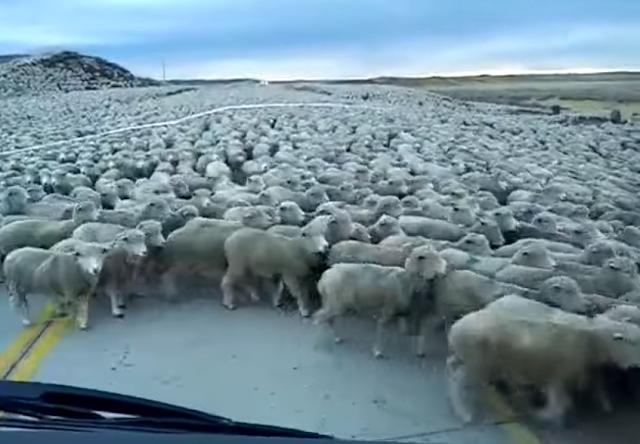 Tόσα πρόβατα δεν έχετε ξαναδεί ποτέ μαζεμένα - Κλείνουν δρόμο της Λατινικής Αμερικής και προκαλούν «πανικό»